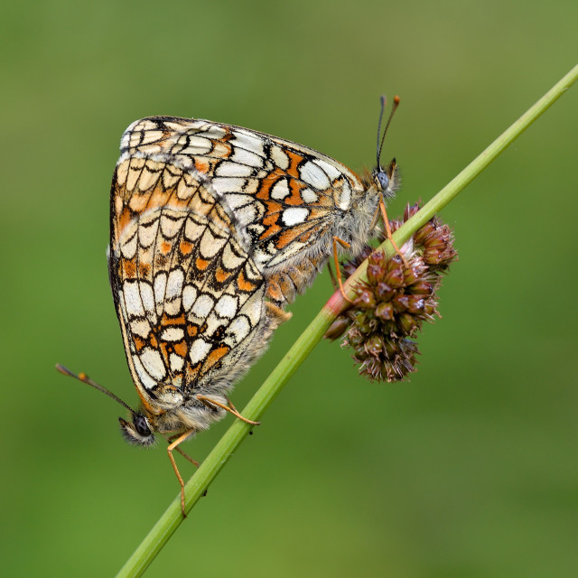 """Mating Heath Fritillaries (Melitaea athalia)."" stock image"