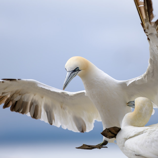 """Bass Rock - Northern Gannets"" stock image"