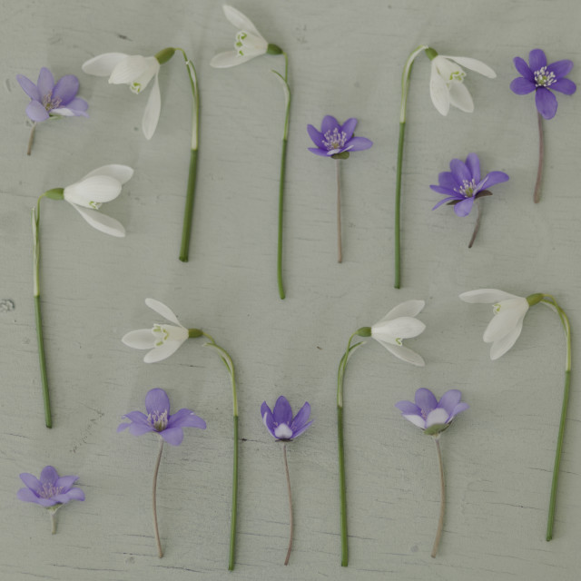 """Snowdrops and violets"" stock image"