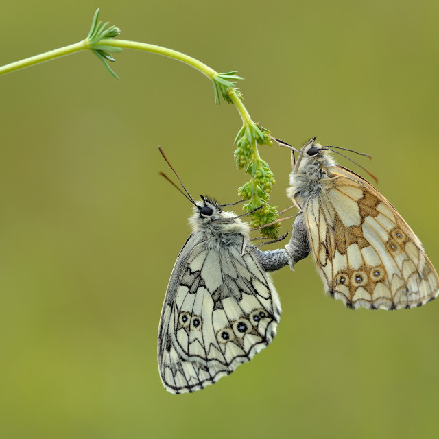 """Mating Marbled Whites (Melanargia galathea)."" stock image"