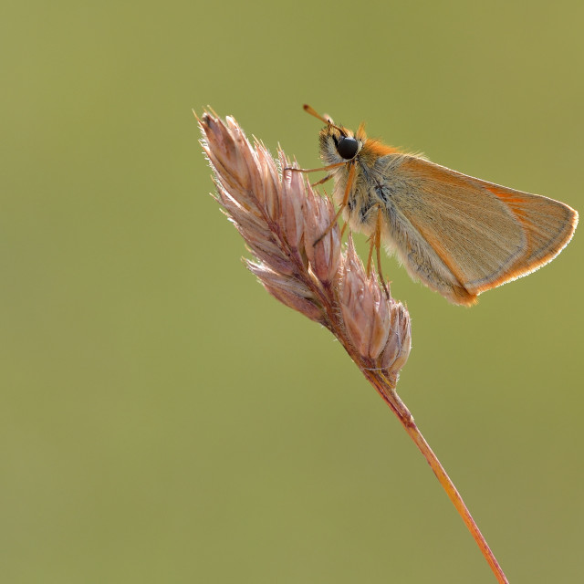 """Small Skipper (Thymelicus sylvestris)."" stock image"