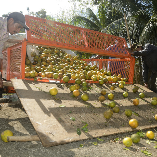 """""""Loading a citrus truck in Belize"""" stock image"""
