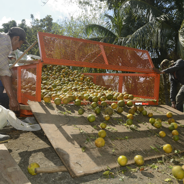 """Loading a citrus truck in Belize"" stock image"
