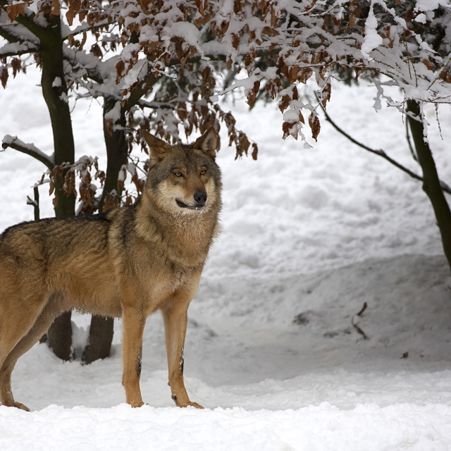"""Wolf in winter"" stock image"