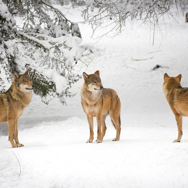 """Wolves in winter"" stock image"