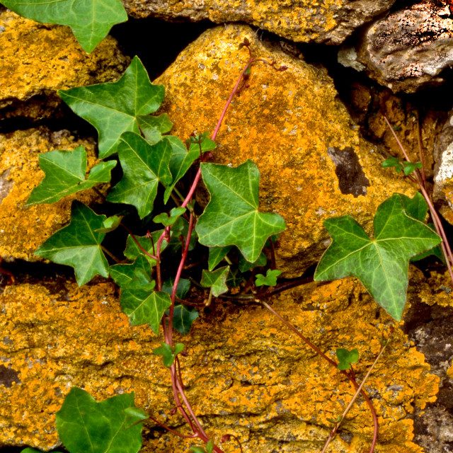 """""""Throughout my travels in Dorset with a camera I am always looking out for interesting colour and texture such as Ivy on an old stone wall"""" stock image"""