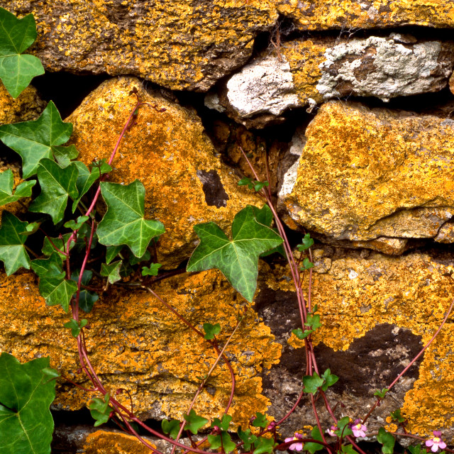 """""""Ivy and Stone Wall"""" stock image"""