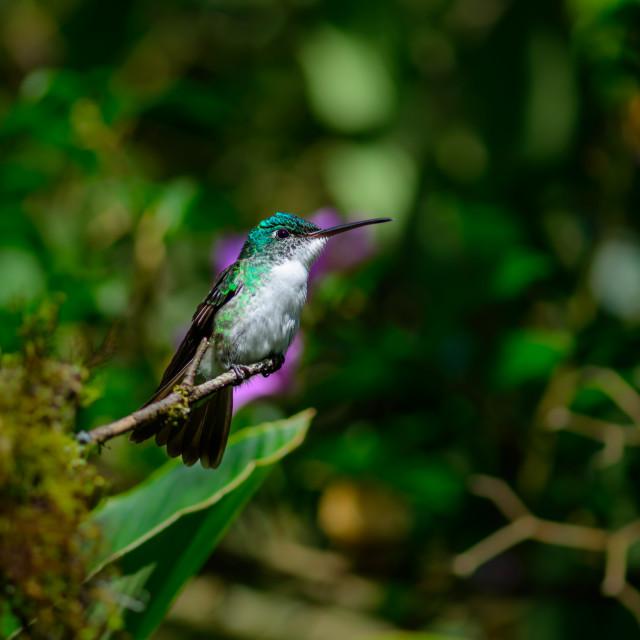 """Hummingbird, Bella Vista cloud forest, Ecuador"" stock image"