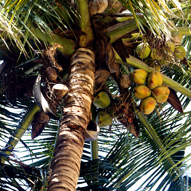 """Tree bearing Coconut Crop"" stock image"
