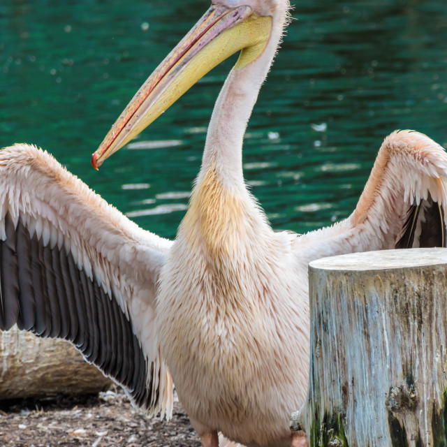 """""""Pelican with yellow beak showing his wings"""" stock image"""