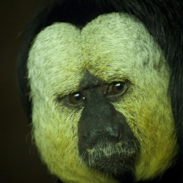 """""""Saki Monkey"""" stock image"""