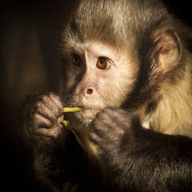 """""""Capuchin Monkey"""" stock image"""