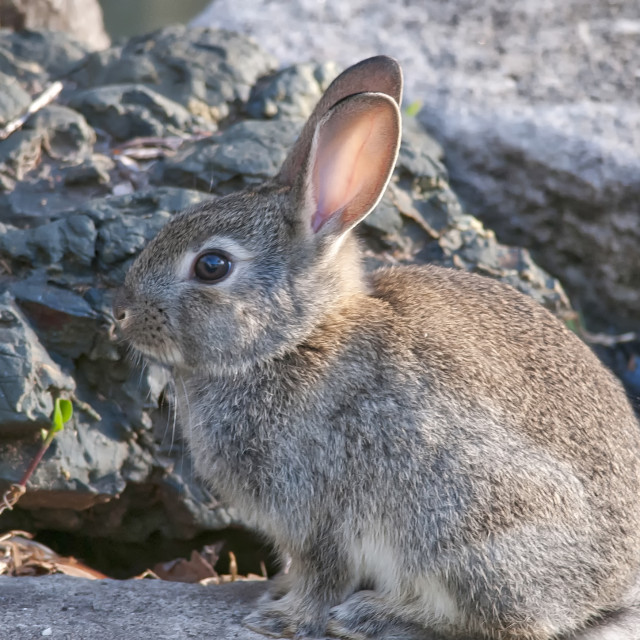 """Backyard Bunny"" stock image"