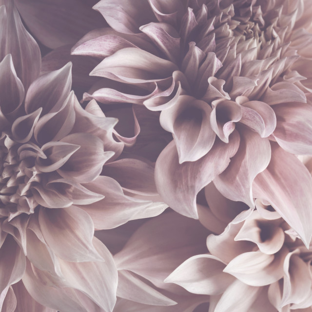 """Dahlia Petals"" stock image"