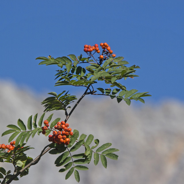 """Rowan tree in front of Zugspitze massif"" stock image"