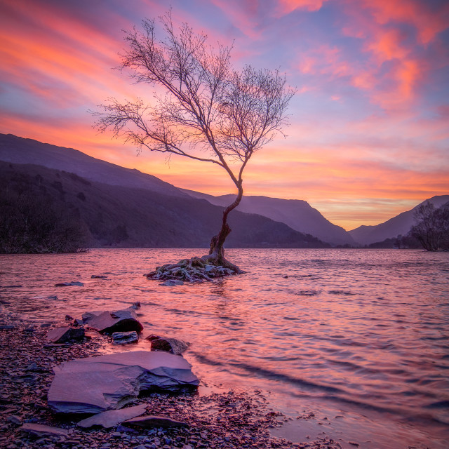 """Lone Tree at Dawn (Portrait)"" stock image"