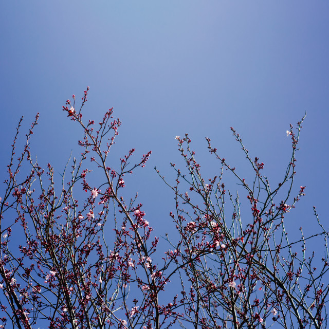 """""""Row of Cherry Blossom Trees on Sunny Day, With Blue Sky Backround"""" stock image"""