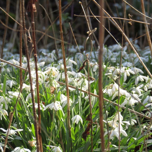 """Snowdrops in February!"" stock image"