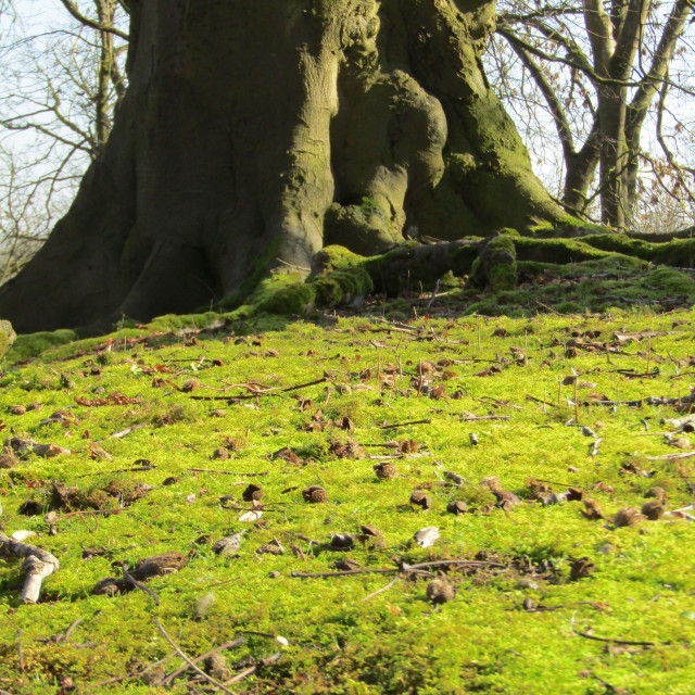 """Moss slope leading to large tree trunk"" stock image"