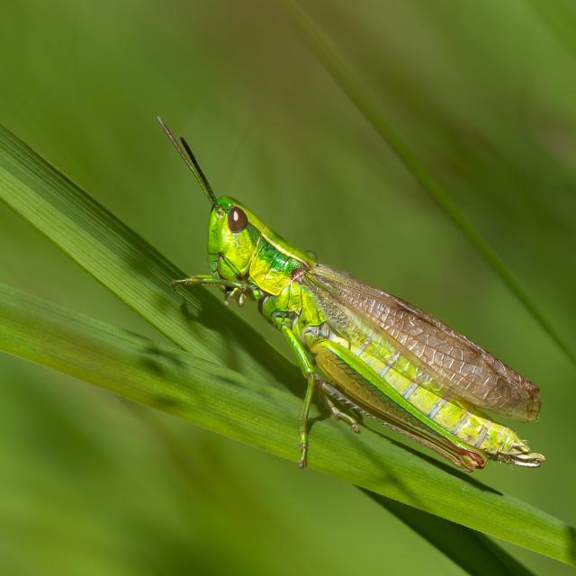 """Short-horned grasshopper - Euthystira brachyptera"" stock image"