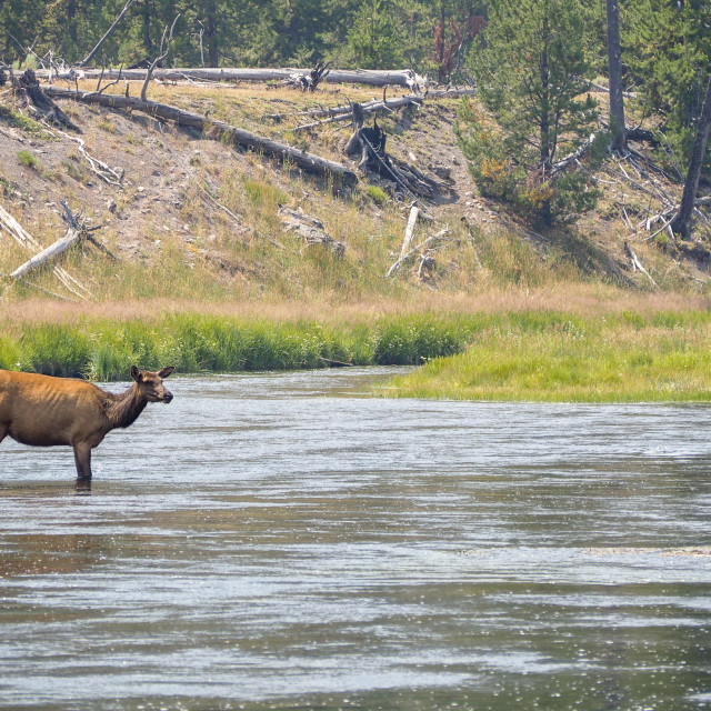 """A lone Elk standing in the Yellowstone River"" stock image"