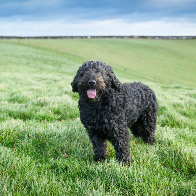 """""""Cockapoo Dog in a Meadow."""" stock image"""