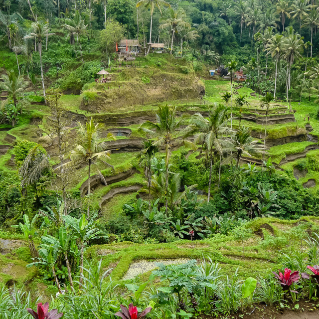 """A view of the rice tarsa on the island of Bali"" stock image"