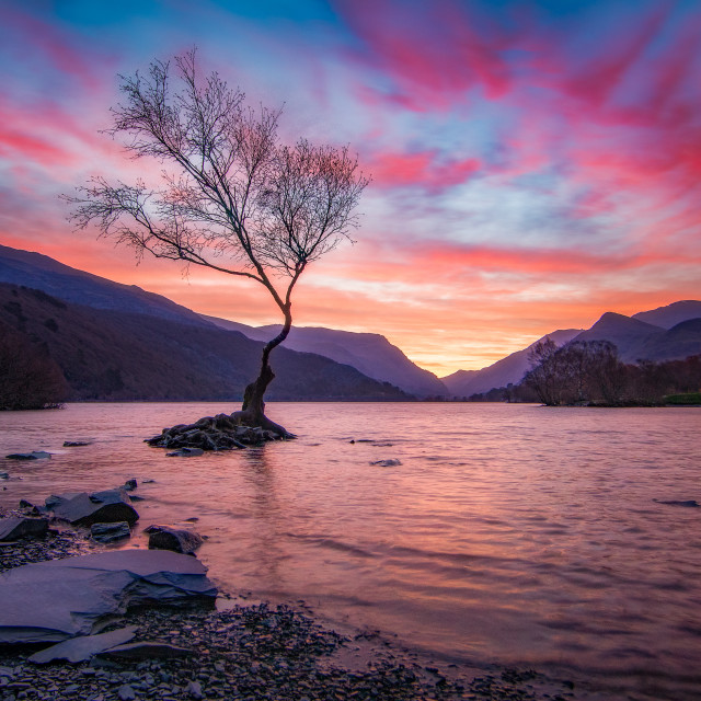 """""""Lone Tree at Dawn (Landscape)"""" stock image"""