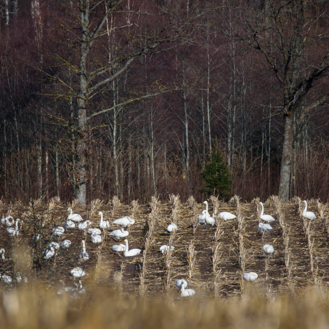 """""""Selective focus photo. Group with whooper swans (Cygnus cygnus) on field. First Migratory birds before spring time."""" stock image"""