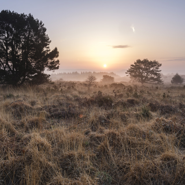 """A misty sunrise across the heathland of Woodbury Common, near Exmouth, Devon, UK"" stock image"