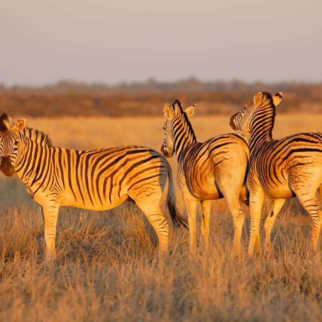 """Plains zebras in late afternoon light"" stock image"