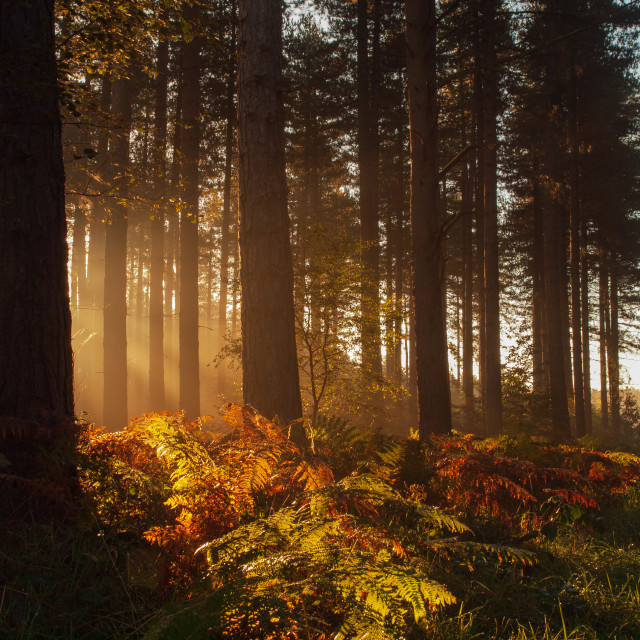 """""""Forest Glow"""" stock image"""