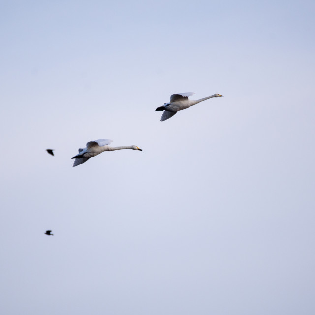 """""""Whooper swans (Cygnus cygnus) flying in the sky over field at countryside."""" stock image"""