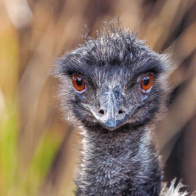 """""""Emu starring straight at you"""" stock image"""