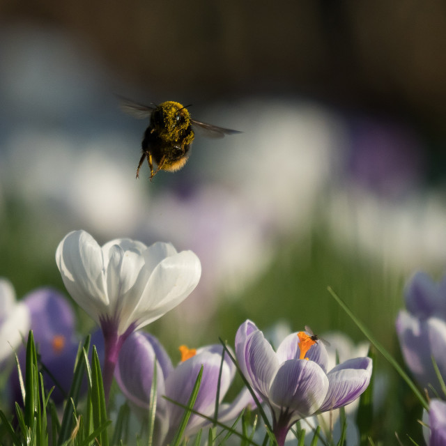 """The Bee & The Crocuses"" stock image"