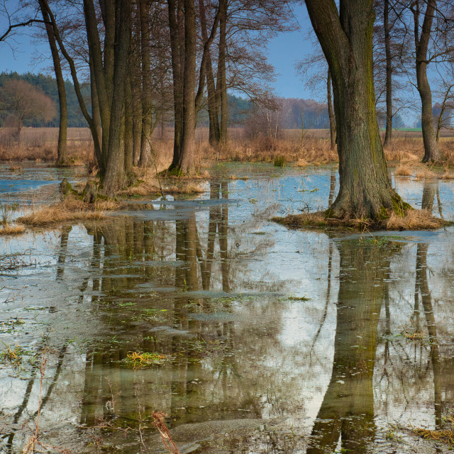 """Flooded trees in the meadow"" stock image"