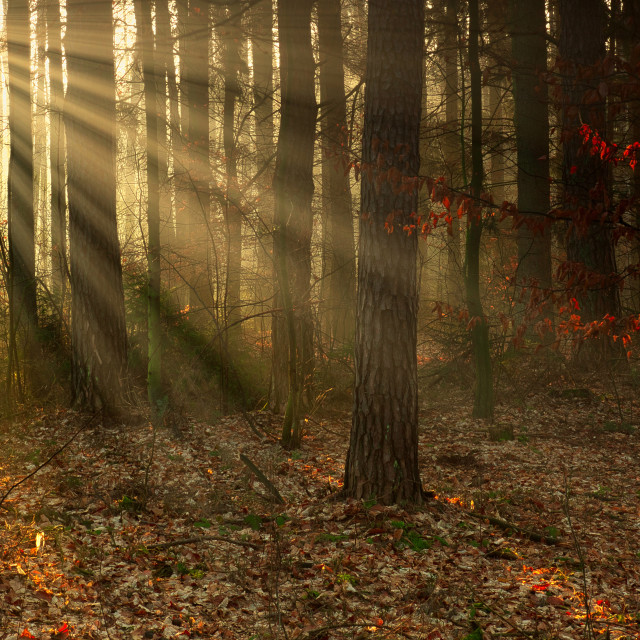 """The forest in the first rays of the sun"" stock image"