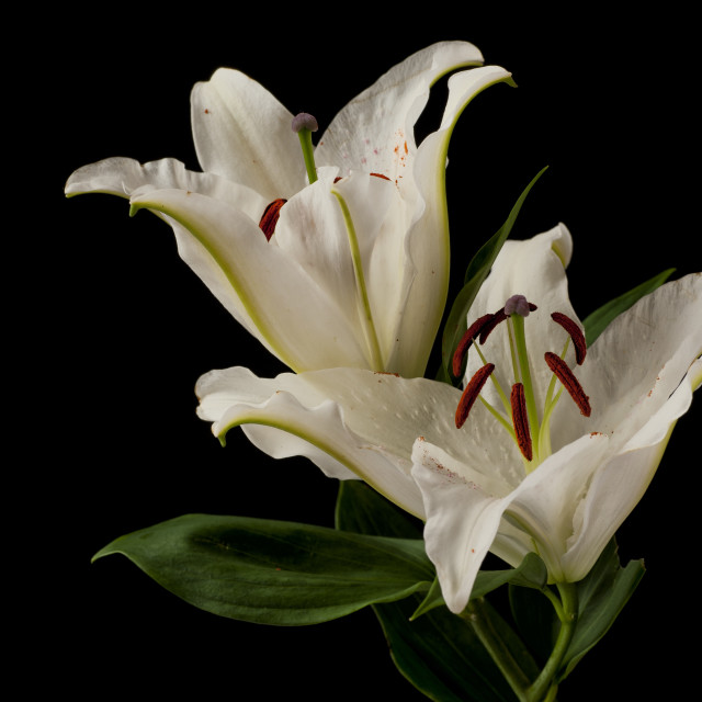 """Lily Flowers"" stock image"