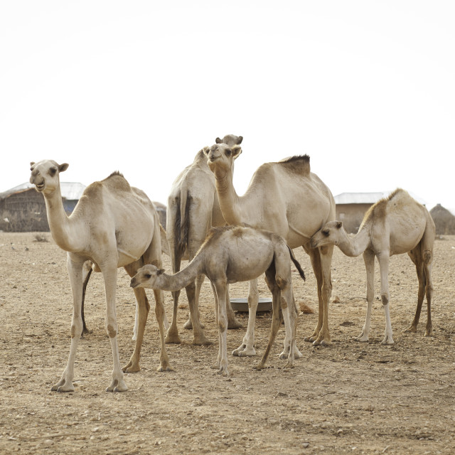 """herd of camels in Gode, Ethiopia"" stock image"