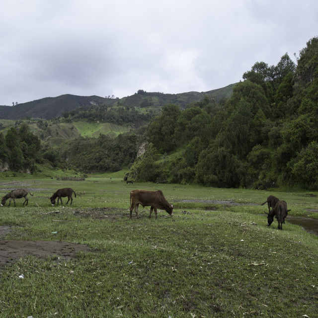 """cows and donkeys grazing in valley in Ethiopia"" stock image"