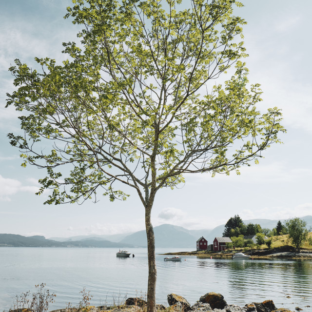 """""""A lone tree in a summer fjord landscape in Norway."""" stock image"""