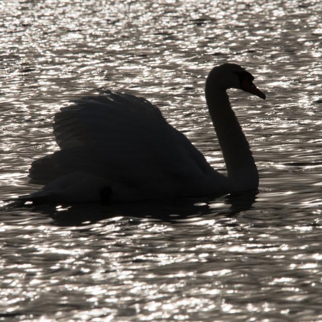 """""""Mute Swan"""" stock image"""