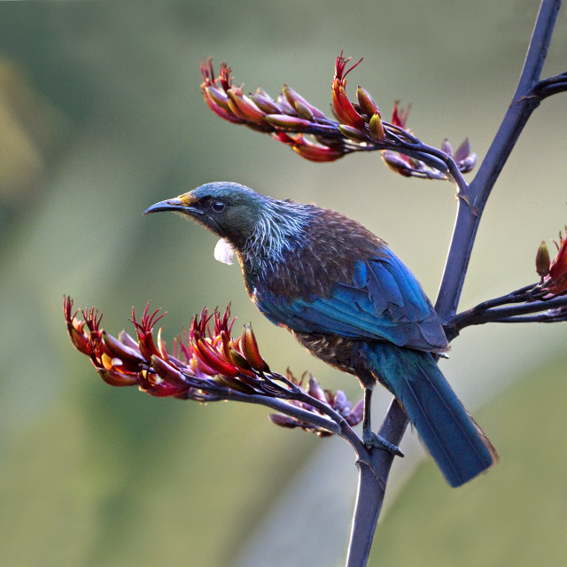"""New Zealand Tui."" stock image"