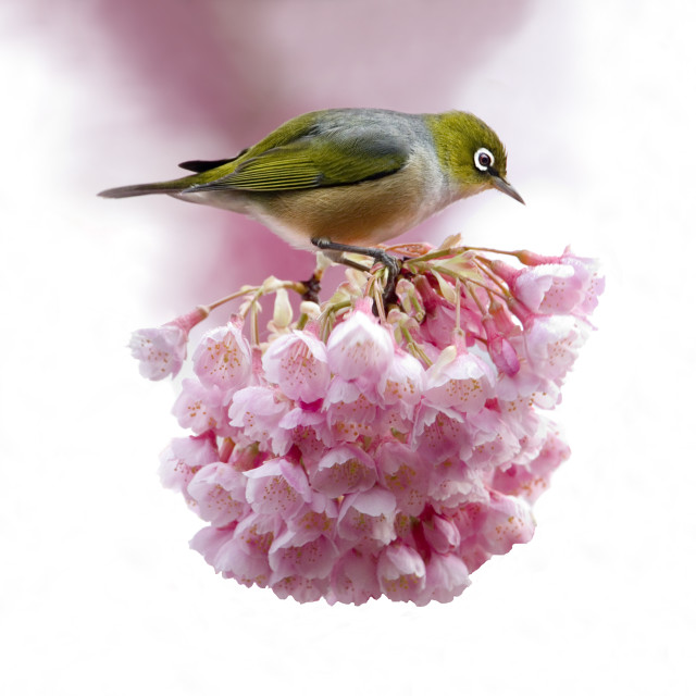 """A Silvereye perched on Cherry Blossom flowers."" stock image"