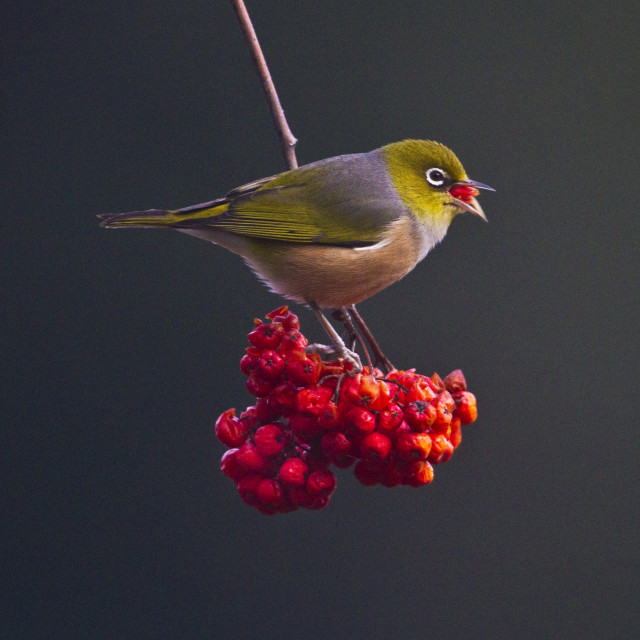 """Waxeye on a Rowan tree"" stock image"