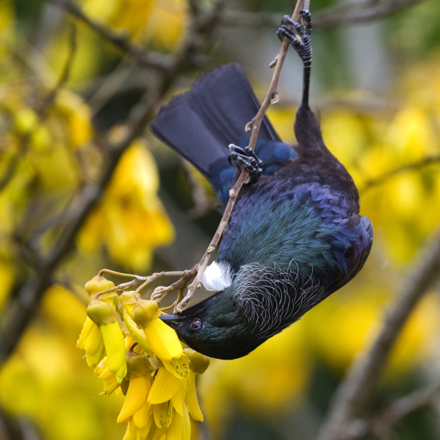 """New Zealand Tui"" stock image"