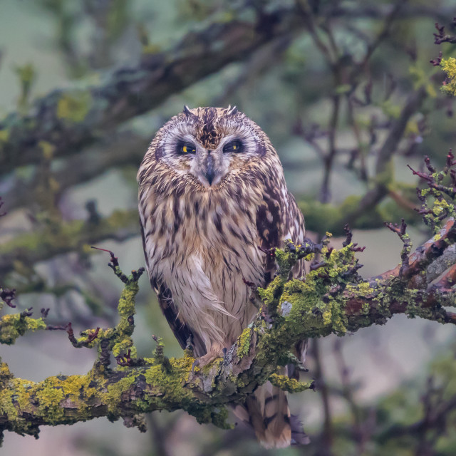 """Short Eared Owl"" stock image"
