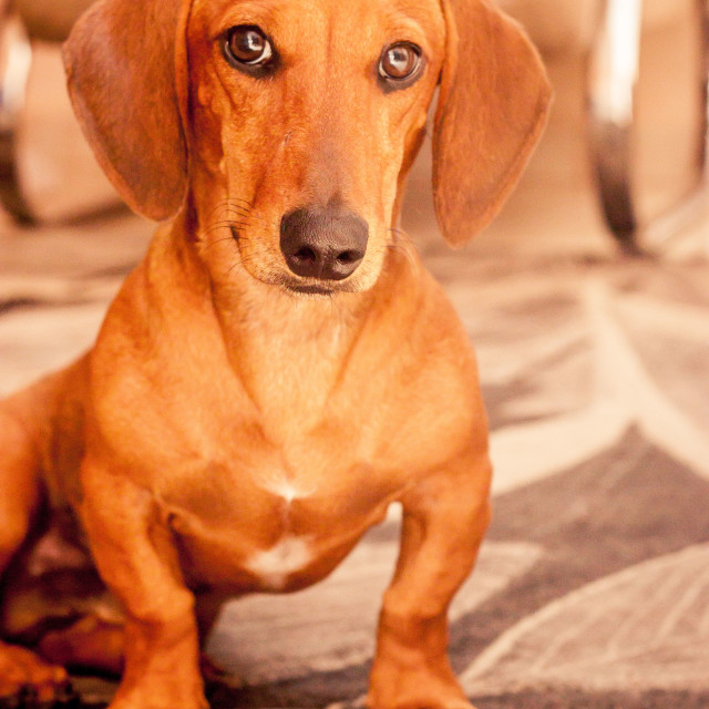 """Brown Daschund"" stock image"