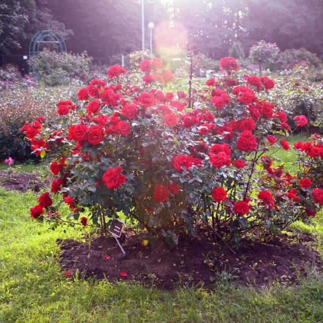"""Red Rose Bush in a Sunlit Rose Garden"" stock image"