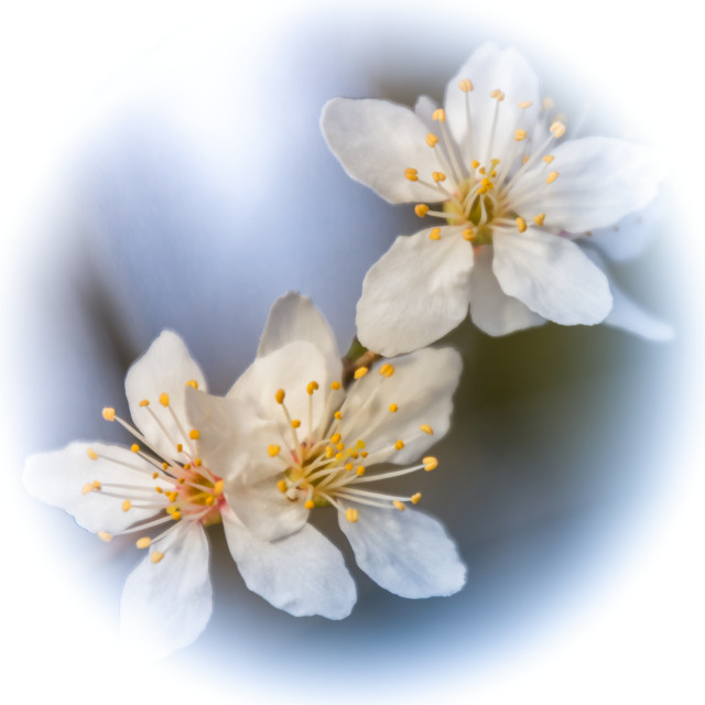 """Cherry Plum"" stock image"